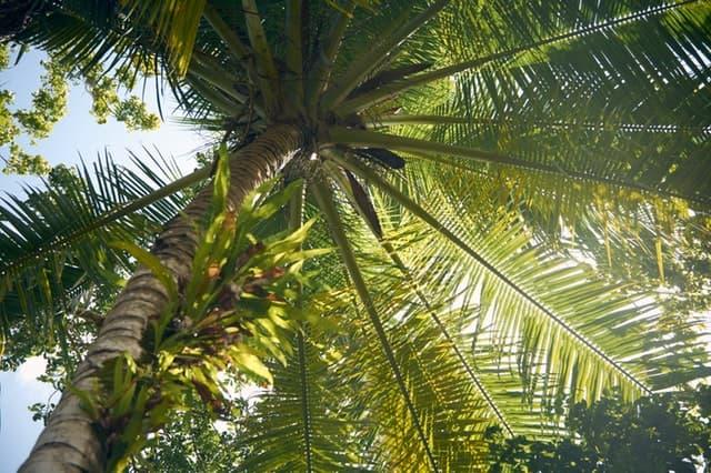 coconut-tree-growth